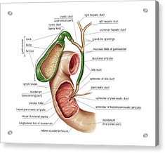 The Gallbladder Acrylic Print by Asklepios Medical Atlas