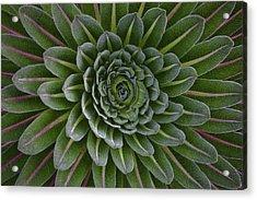 The Giant Lobelias (lobelia Bequaertii Acrylic Print