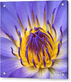 Acrylic Print featuring the photograph The Lotus Flower by Sharon Mau
