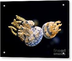 The Spotted Jelly Or Lagoon Jelly Mastigias Papua Acrylic Print by Jamie Pham