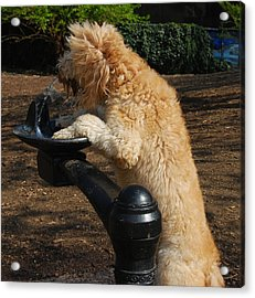 Thirsty Dog Acrylic Print by Jim Poulos