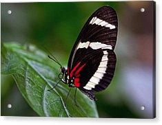Tiger Longwing Acrylic Print by Cheryl Cencich
