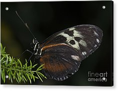 Tiger Longwing Acrylic Print