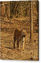 Tiger On The Move In Bamboo Forest Acrylic Print by Jagdeep Rajput
