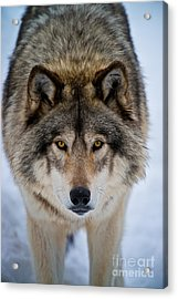 Timber Wolf Picture Acrylic Print