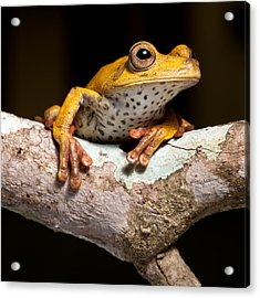 Tree Frog On Twig In Rainforest Acrylic Print