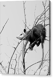 Treed Opossum Acrylic Print by Robert Frederick