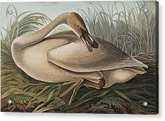 Trumpeter Swan Acrylic Print by John James Audubon