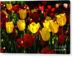 Tulips From Istanbul Acrylic Print