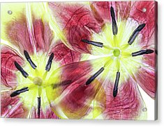 Tulips Acrylic Print by Mandy Disher