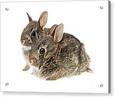 Two Baby Bunny Rabbits Acrylic Print by Elena Elisseeva
