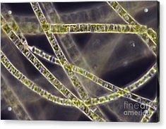 Ulothrix Sp. Algae, Lm Acrylic Print by David M. Phillips
