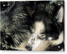 Usa, Alaska, Sled Dogs, Dog Sledding Acrylic Print