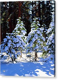 Usa, California, Snow-covered Red Fir Acrylic Print by Jaynes Gallery