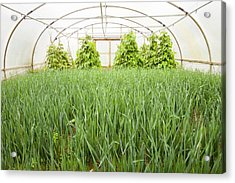 Vegetables Growing In Polytunnels Acrylic Print