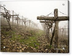 Vineyard In The Fog Acrylic Print