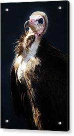 Vulture Acrylic Print by Paulette Thomas