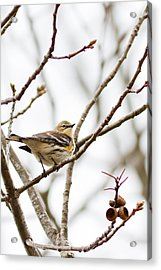 Warbler Calls Acrylic Print by Annette Hugen