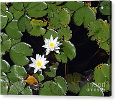 Acrylic Print featuring the photograph 2 Water Lily by Robert Nickologianis