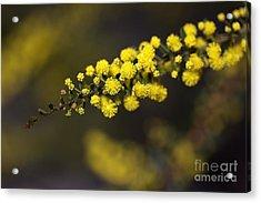 Wattle Flowers Acrylic Print by Joy Watson