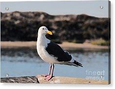 Western Gull At Moss Landing Inlet Acrylic Print
