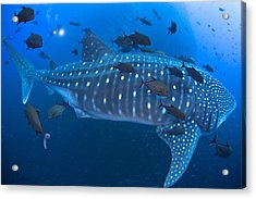 Whale Shark Acrylic Print by David Valencia