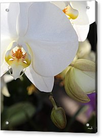White Orchid Three Acrylic Print by Mark Steven Burhart