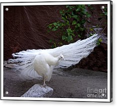 Acrylic Print featuring the photograph White Peacock by Mariarosa Rockefeller
