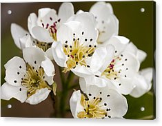 Beautiful White Spring Blossom Acrylic Print