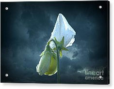 Acrylic Print featuring the photograph White Sweet Pea  by Marjorie Imbeau