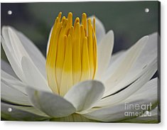 White Water Lily Acrylic Print by Heiko Koehrer-Wagner