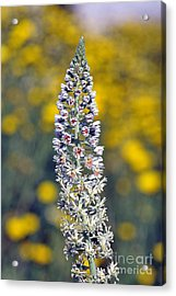 Acrylic Print featuring the photograph Wild Mignonette Flower by George Atsametakis