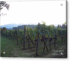 Wine Yards In Loppiano Acrylic Print