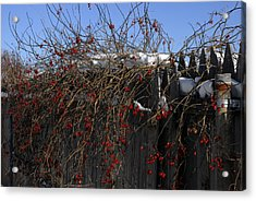 Winter Berries Acrylic Print by Donna Desrosiers