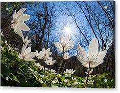 Wood Anemone (anemone Nemorosa) Acrylic Print by Alex Hyde