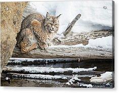 Wyoming, Yellowstone National Park Acrylic Print by Elizabeth Boehm