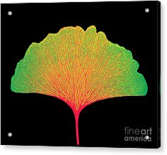 X-ray Of Ginkgo Leaf Acrylic Print by Bert Myers