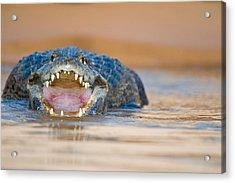 Yacare Caiman Caiman Crocodilus Yacare Acrylic Print by Panoramic Images