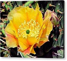 Yellow Cactus Bloom  Acrylic Print
