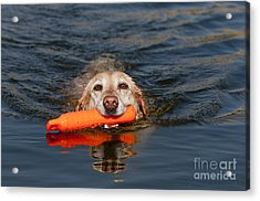 Yellow Labrador Retriever, Retrieving Acrylic Print