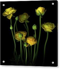 Yellow Ranunculus Acrylic Print by Photograph By Magda Indigo
