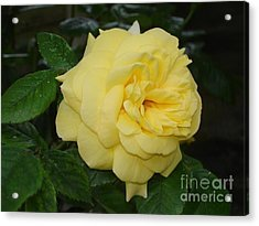 Acrylic Print featuring the photograph Yellow Rose  by Katy Mei