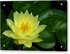 Yellow Waterlily Flower Acrylic Print by Eva Kaufman