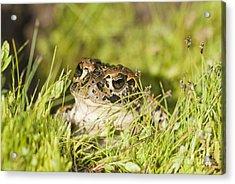 Yosemite Toad Acrylic Print