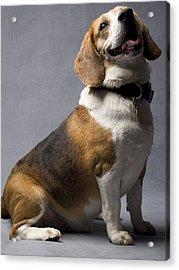 Beagle Acrylic Print by Gary Marx