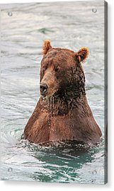 Grizzly Bears Also Called Brown Bears Acrylic Print by Tom Norring