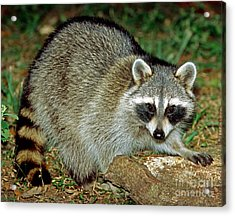 Raccoon Acrylic Print by Millard H. Sharp