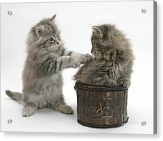 Maine Coon Kittens Acrylic Print by Mark Taylor