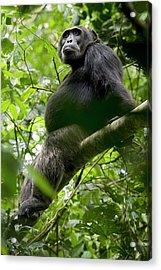 Africa, Uganda, Kibale National Park Acrylic Print