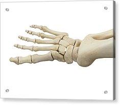 Human Foot Anatomy Acrylic Print by Sciepro